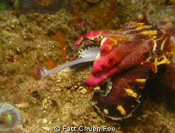 Gotcha! Flambuoyant Cuttlefish catching it's dinner, Anil... by Fatt Chuen Foo