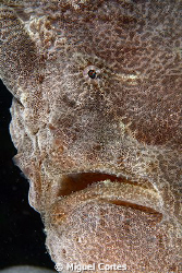 Giant frogfish portrait. by Miguel Cortes