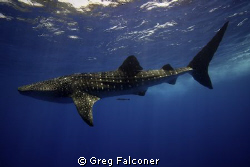 Whale Shark at the surface, Gladden Spit, Belize, May 200... by Greg Falconer