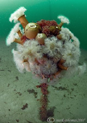 Mooring buoy covered in plumose anemones etc.