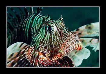 Lionfish Portrait. Sinai, Red Sea.  by Johannes Felten