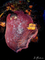 This image of an Elephant Ear Sponge was taken during a d... by Steven Anderson