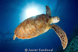 green turtle going down after cach some fresh air by Javier Sandoval
