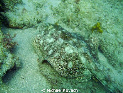 Yellow Sand Ray on the Inside Reef at Lauderdale by the Sea by Michael Kovach