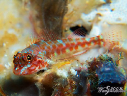 Unfamiliar (for me) Triplefin during a dive at 'Manta All... by Marco Waagmeester