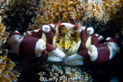 More critters from Lembeh, D300-60mm by Larry Polster
