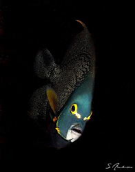 This image of a French Angelfish was taken at Paso De Ced... by Steven Anderson