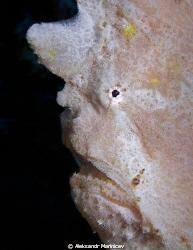 Painted anglerfish by Aleksandr Marinicev