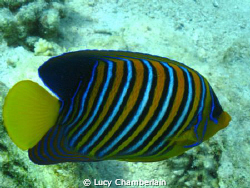 A Royal Angel Fish, April 2009 by Lucy Chamberlain