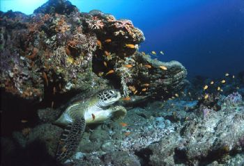 Turtle in Maldive's sea by Cristian Umili