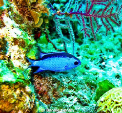 Blue Chromis seen May 2009 in Freeport Bahamas.  Photo ta... by Bonnie Conley