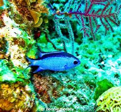 Blue Chromis seen May 2009 in Freeport Bahamas.  Photo ta... by Bonnie Conley