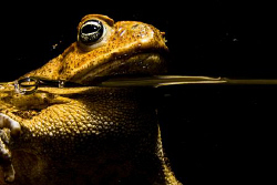Cane toad from Tropical Queensland, Australia by Cal Mero