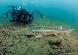 Mr H and diamond sturgeon - first time underwater with th... by Mark Thomas