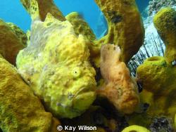 Frog fish - mating pair by Kay Wilson