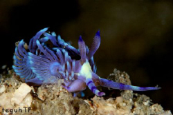 Nudi Branch...Canon EOS 400D in a Sea and Sea Housing and... by Teguh Tirtaputra