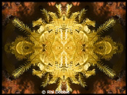 Echnioderm - Feather Star.