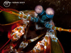 Peacock Mantis Shrimp.  Canon G10, 2x INON UCL165, Sea an... by Stephen Holinski