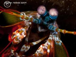 Peacock Mantis Shrimp.  Canon G10, 2x INON UCL165, Sea an... by Stephen Holinski