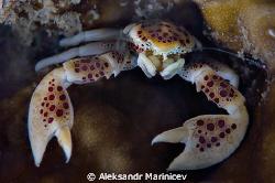 Porcellan crab   by Aleksandr Marinicev
