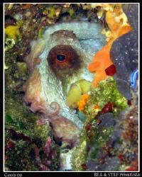 Octopus. Canon G10 & Inon D2000 by Bea & Stef Primatesta