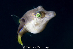 The common Sharpnose puffer, seen on every dive in Utila,... by Tobias Reitmayr