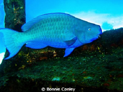 Blue Parrotfish seen in Grand Bahamas.  Photo taken May 2... by Bonnie Conley