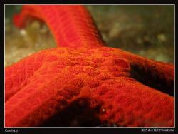 Seastar (Hacelia attenuata). Canon G10, UCL 165 & Inon D2... by Bea & Stef Primatesta