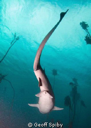 different view of a cowshark by Geoff Spiby