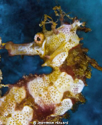 Seahorse face :)  Sabang, Phillipines      Nikon D70 105 ... by Jeannette Howard