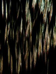 Anilao schooling razorfish.  Canon G10, Sea and Sea Strobes. by Stephen Holinski