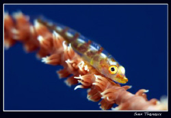 Whipe coral goby ... by Sven Tramaux