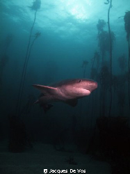 Photo of a Braodnose Seven Gill Cow Shark. these sharks a... by Jacques De Vos