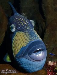 Titan triggerfish (Balistoides viridescens) getting clean... by Marco Waagmeester