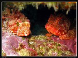Scorpionfish (Scorpaena notata?) Canon Ixus 980. by Bea & Stef Primatesta