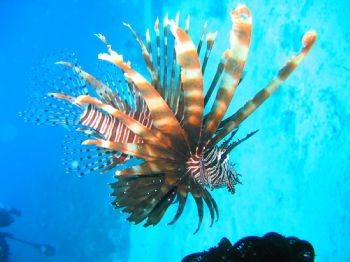 Lion Fish, Boracay, Filipines. June 2004 at 60 feet. Dive... by Alex Evengroen