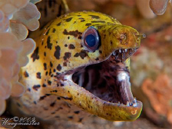 Fimbriated moray (Gymnothorax fimbriatus) - Sangeang Isla... by Marco Waagmeester