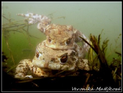 Mr.and Mrs. Frogs.