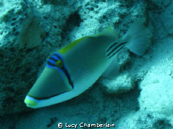 A Picasso Trigger Fish.  April 2009 by Lucy Chamberlain