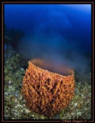 Barrel sponge spawning by Ramón Domínguez