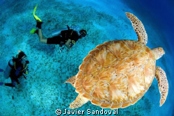 green turtle and diving guide by Javier Sandoval