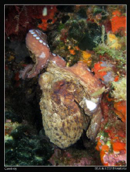 Octopus (Octopus vulgaris). Canon G10 & Inon D2000. by Bea & Stef Primatesta