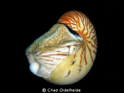 Chambered Nautilus at Big Drop-off by Chad Ordelheide