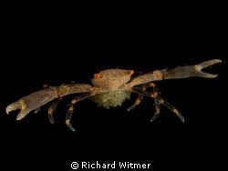 Reef Crab with Eggs.  This crab is about 2.5cm from claw ... by Richard Witmer