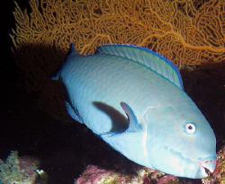 Bullethead Parrotfish by Martin Dalsaso