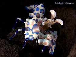 Harlequin shrimp (Hymenocera elegans).  G9/DS160s/UCL165. by Richard Witmer