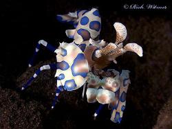 Harlequin shrimp (Hymenocera elegans).  G9/DS160s/UCL165. by Richard Witmer