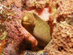 goldentail moray at crash boat dive site in Aguadilla coa... by Victor J. Lasanta
