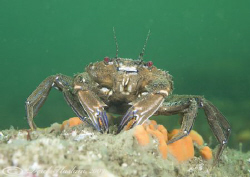 Velvet swimming crab. Menai straits. D3, 60mm. by Derek Haslam