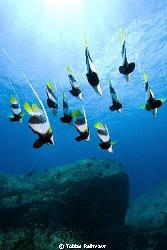 Bannerfish free falling, Elephant Head Rock, Similan Isla... by Tobias Reitmayr